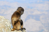 Young Gelada sitting on the edge of the cliff