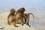 Gelada grooming, Simien Mountains National Park