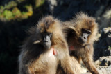 We soon encountered another large group of Gelada