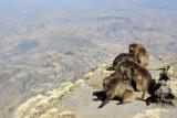 Gelada grooming near the edge