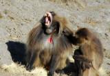 A large male Gelada yawning