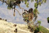 Uncommon sight - a Gelada in a tree