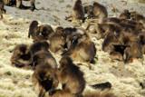 Large group of Gelada grooming