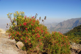 Red flowering bushes, Simien Mountains