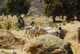 Threshing with a team of four white horses, Simien Mountains National Park