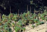 Forest of Giant Lobelia, Simien National Park