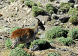 Walia Ibex, an Ethiopian endemic of which only several hundred remain