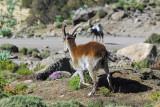 Walia Ibex near the Chenek campsite, Simien Mountains National Park