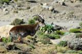 Walia Ibex habitat ranges from 2500 to 4500m