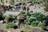 The Walia Ibex seem well acclimated to humans