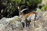 Walia Ibex, Simien Mountains National Park