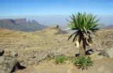 Giant Labelia at 4200m