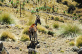 Another brief Walia Ibex encounter