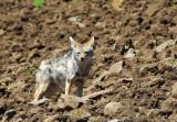 Golden jackal (Canis aureus) Simien Mountains, Ethiopia