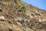 We didn't manage to spot the rare Ethiopian wolf