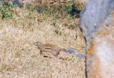 Striped ground squirrel - Xerus erythropus, Ethiopia