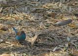 Red-cheeked Cordonbleu, Axum