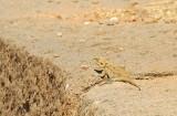 A small lizard, Axum