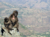 Gelada Baboons on the cliff, Simien Mountains National Park