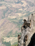 Young Gelada scampering along the steep cliff face