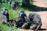 Another group of baboons farther along the road