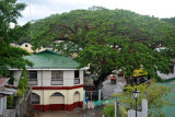Large green canopy of a tropical tree in Culion