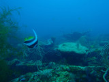 Longfin bannerfish (Heniochus acuminatus) Kogyo Maru