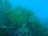 Soft corals on Kogyo Maru