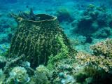 Barrel sponge, Cadlao Tip