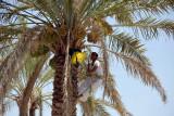 Man working high on a date palm, Al Dariz