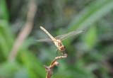 Dragonfly, Moran Hill Park, Pyongyang