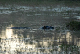Hippo in a pool behind the lodge