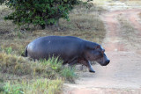 Hippo abandoning the shallow pool behind the lodge