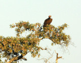 Lappet-faced Vulture (Torgos tracheliotus) in a tree