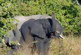 Elephants, Puku Pan