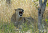 In less than 5 minutes we had our first lioness