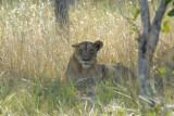 Lioness near McBride's Camp, Kafue National Park