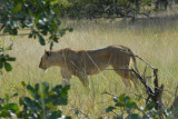 Lioness near McBride's Camp, Kafue National Park