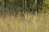 Lion, a young male, barely visible in the tall grass, Kafue National Park
