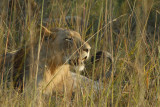 Young male lion resting near McBride's Camp, Kafue National Park