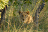 It's amazing that you can approach so close to lions in an open vehicle