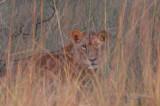 Lion at sunset near McBride's Camp, Kafue National Park