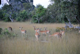 Small herd of impala, the fast food of the African bush