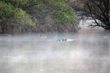 Pod of hippos living near McBride's Camp on a misty morning