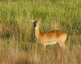 Puku, Kafue National Park, Zambia