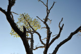 Vine climbing a dead tree, Kafue National Park