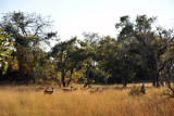 Bachelor herd of Puku, Kafue National Park