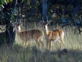 Male puku, Kafue National Park