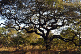 Impressive tree, Kafue National Park