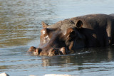 Hippo in the hot spring near McBride's Camp, Kafue National Park